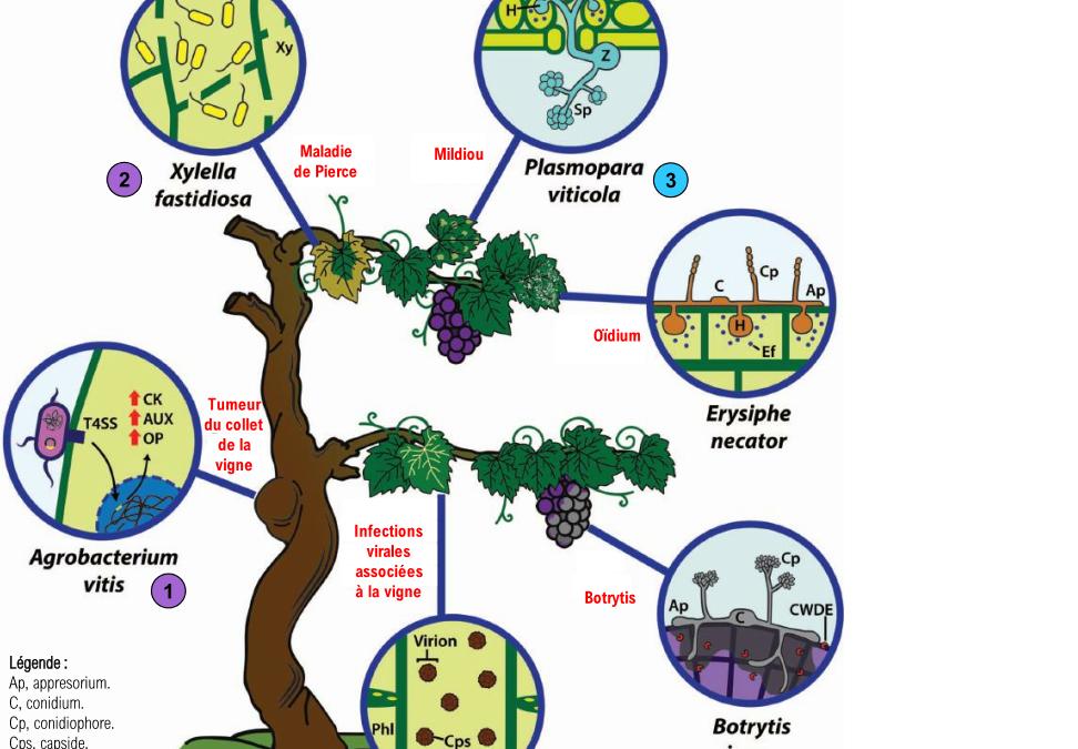Potentiel REDOX, ph et pathogènes de la vigne